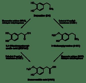 440px-Dopamine_degradation.svg