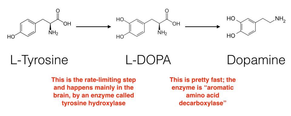 tyrosine-to-dopamine